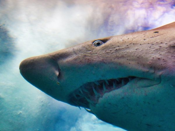 Hunting for alternatives to shark-sourced squalene.